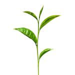 liść_herbaty_1500_1500